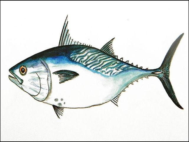 Gambar Ikan Tongkol Terbesar Harga Mahal Dari Pesisir Laut