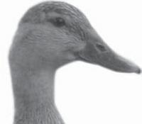 gambar Bentuk Paruh Bebek/Angsa
