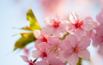 Wallpaper: Cherry Pink Flowers
