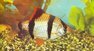 Unduh 42 Gambar Ikan Aji Aji Terbaru