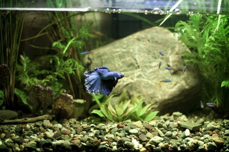 Betta Splendens Halfmoon Blue