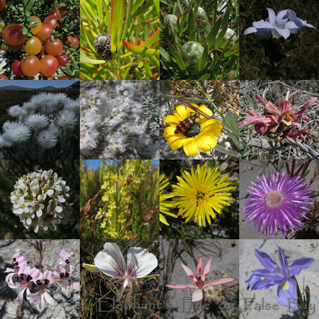 Slangkop flowers in November