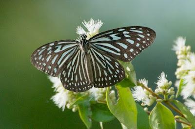 Dark Glassy Tiger (Parantica a agleoides)