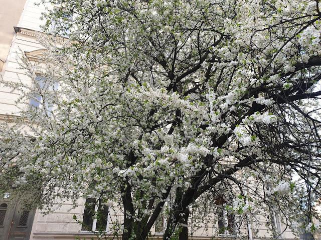 עץ דובדבן בבודפשט