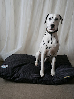 veruy proud Dalmatian sat up on expedition dog bed