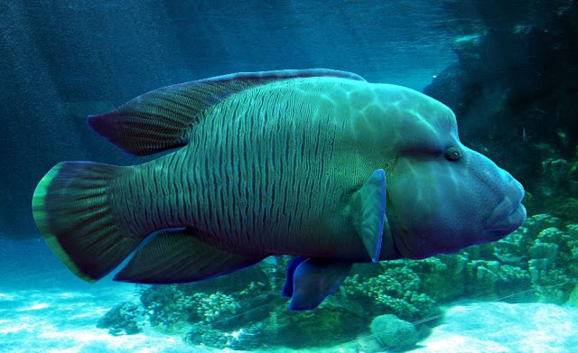 Karakteristik Morfologi Ikan Napoleon atau Hogfish