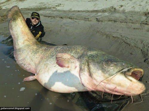 Gambar dan Foto Ikan Besar