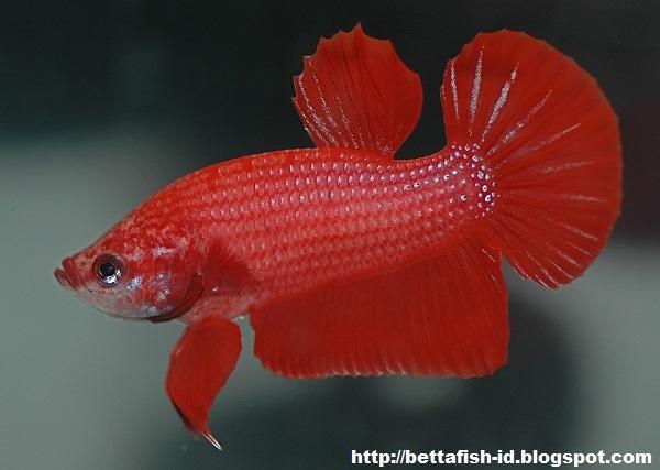 Betta Fish of Type Plakat - Betta Fish Community