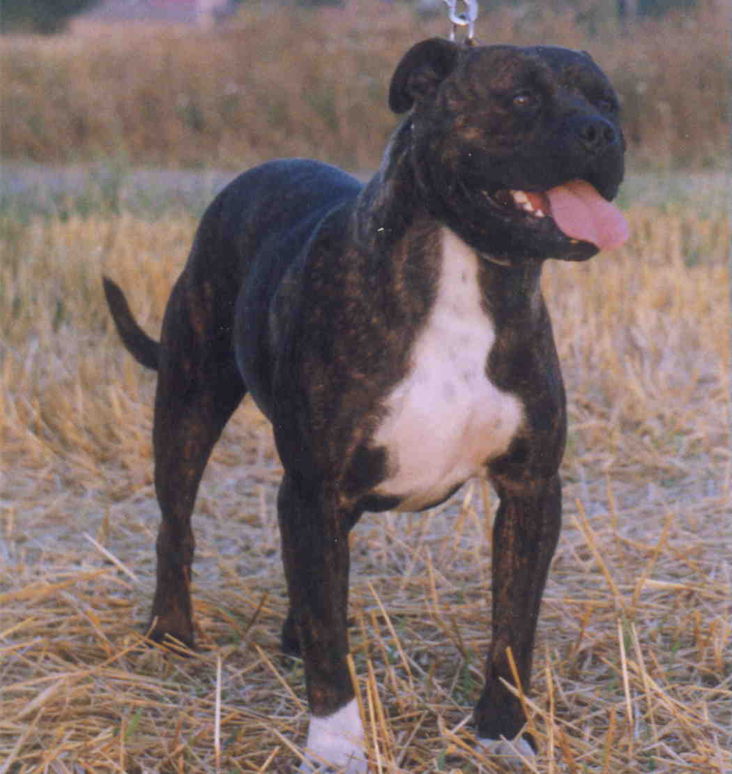 Blog De Talavera Razas De Perros Potencialmente Peligrosas