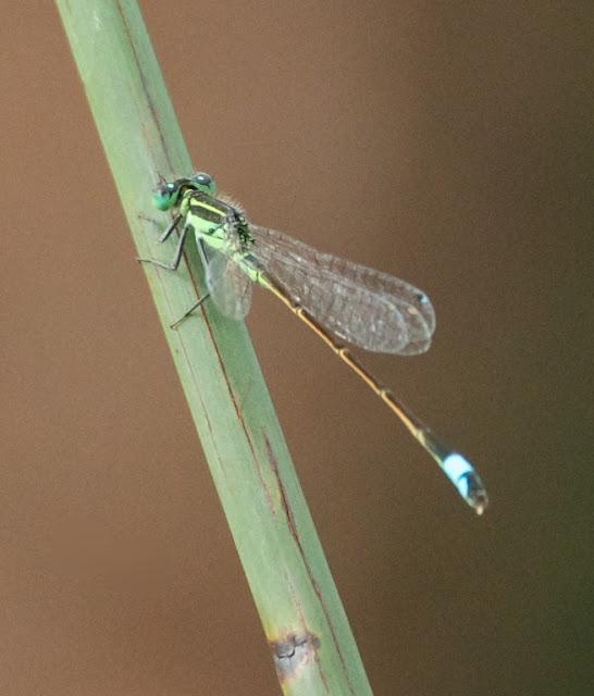 Rambur's Forktail (Ischnura ramburii)