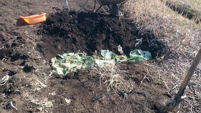掘った穴にキャベツの葉を埋めています