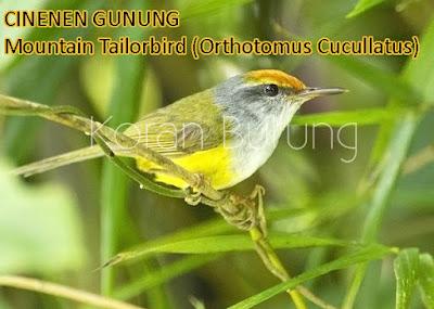 burung kecil pemakan serangga yang sering disebut dengan prenjak mempunyai kekerabatan den Macam - Macam Burung Cinenen Yang Ada Di Indonesia.