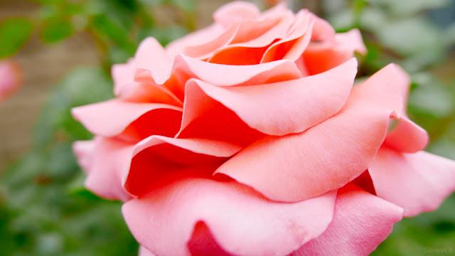 Una rosa petalosa