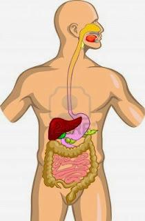 http://4.bp.blogspot.com/-6UrUROKhkkQ/VIMaBeMZHoI/AAAAAAAAADo/KM-aDT9w2gw/s1600/sistema-digestivo-6.jpg