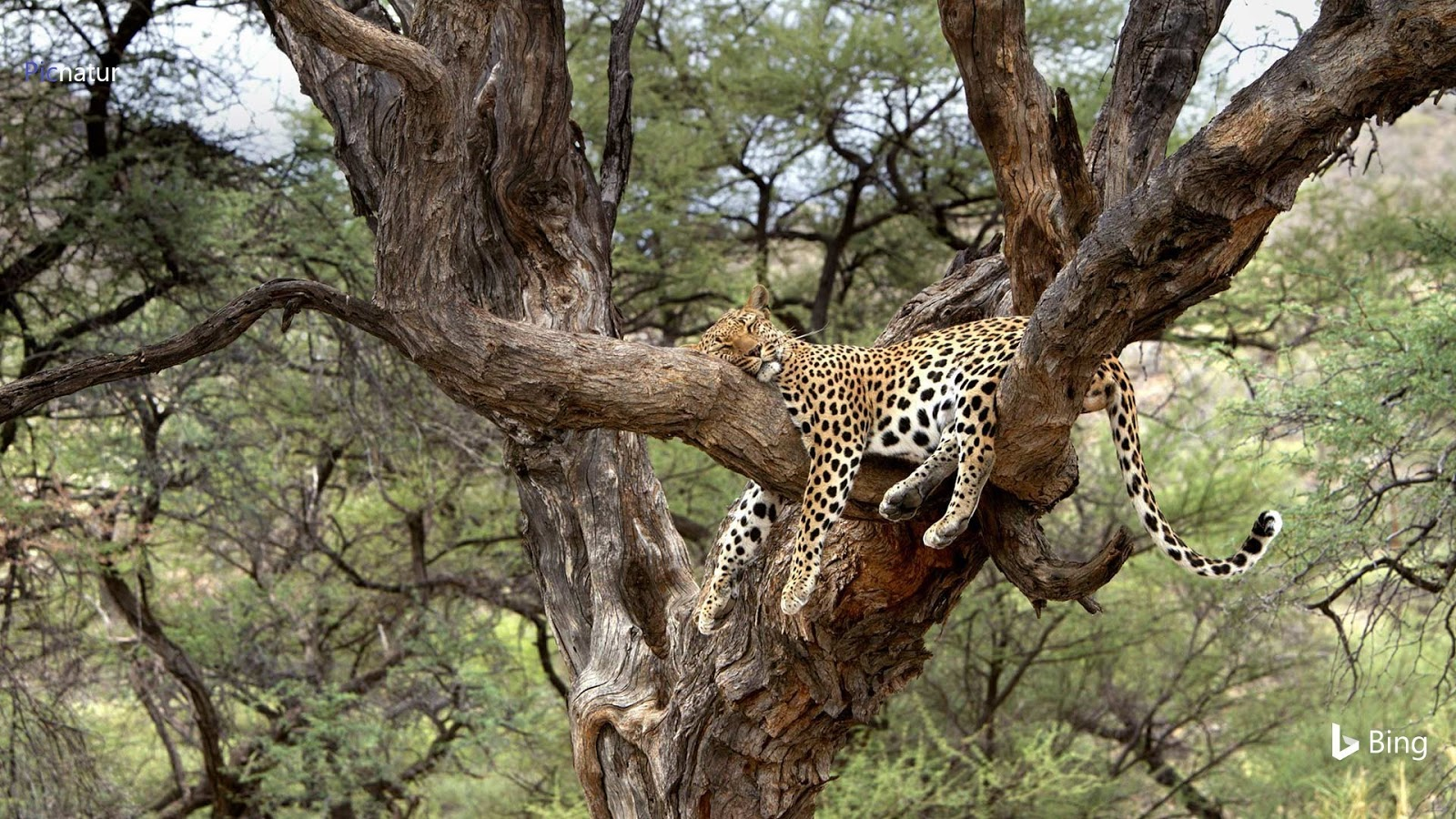 Leopard snoozing in a tree in Namibia © M. Watsonantheo/SuperStock