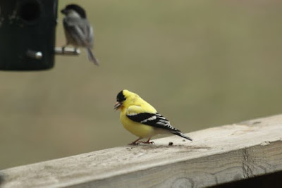 male American Goldfinch, on railing (Chickadee at feeder)