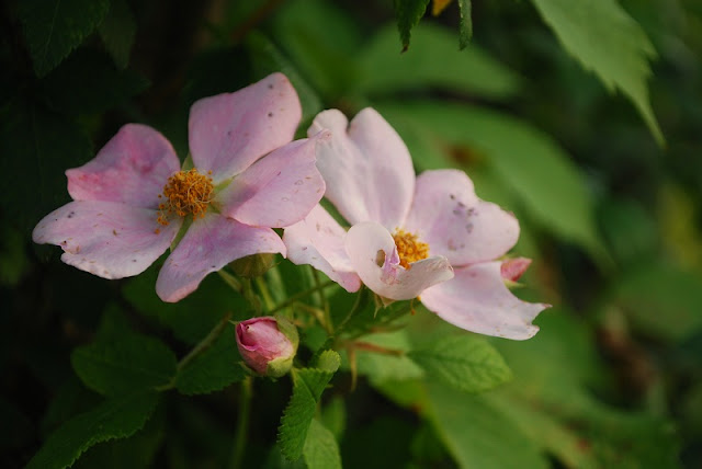 Pale pink wild roses