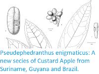 http://sciencythoughts.blogspot.co.uk/2017/10/pseudephedranthus-enigmaticus-new.html