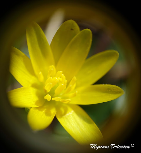 lesser celandine flower Black Mountain South of France