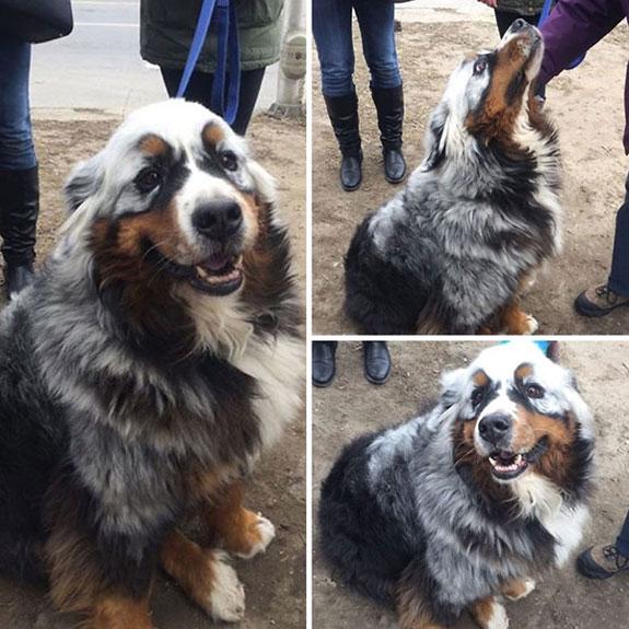 Bernese Mountain cachorro con vitiligo