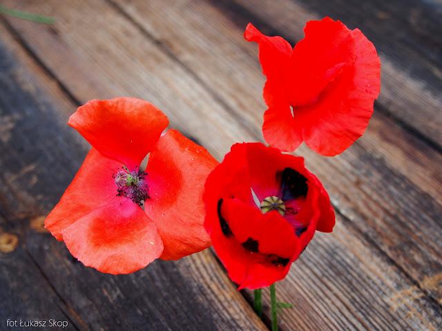 jadalne kwiaty maków