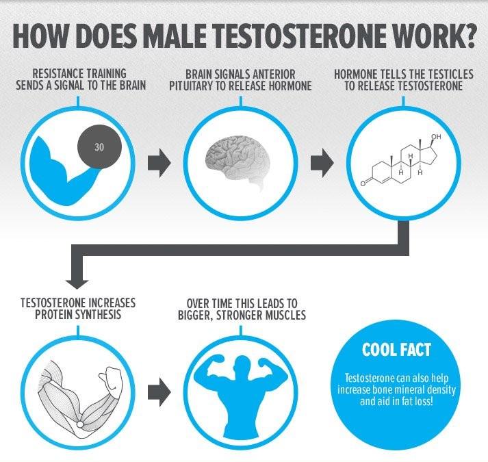 how does testosterone work with body metabolism