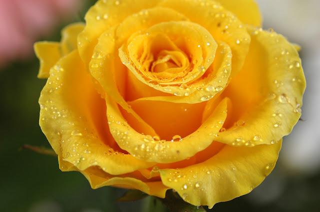 Hình ảnh đẹp hoa hồng vàng 4