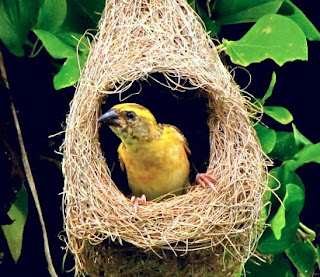 6 Ciri Ciri Fisik Burung Manyar Jambul Jantan Muda