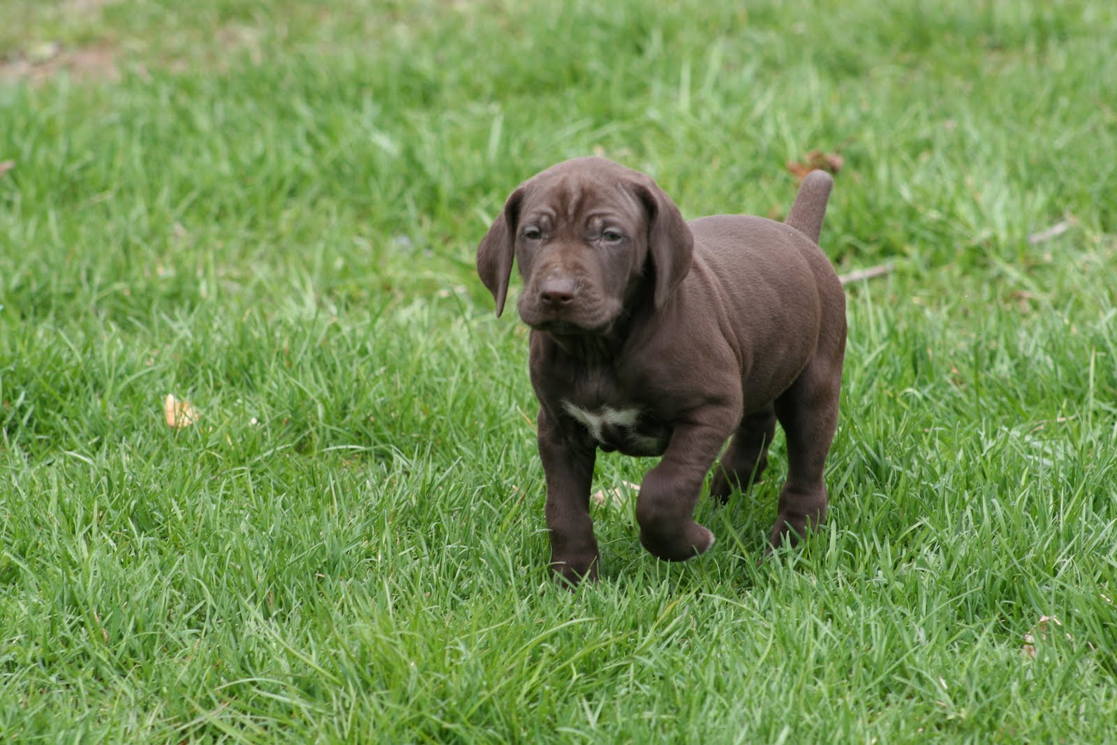 Mapleton Farm Sales List: Liver German Shorthaired Pointers