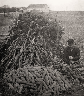 Farmer husking corn ears beside a large shock of corn stalks
