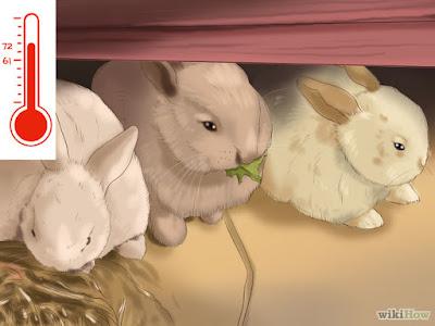 Cara memelihara Kelinci Hias holland fuzzi untuk Pemula