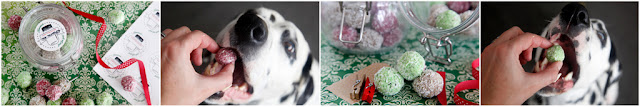 Dalmatian dogs eating homemade Christmas dog treats