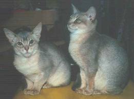 Encyclopedia of Cats Breed: Blue Abyssinian Cat