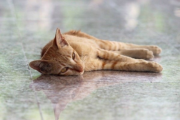 ginger cat bangkok