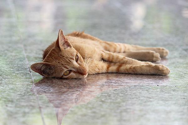 ginger cat bangkok