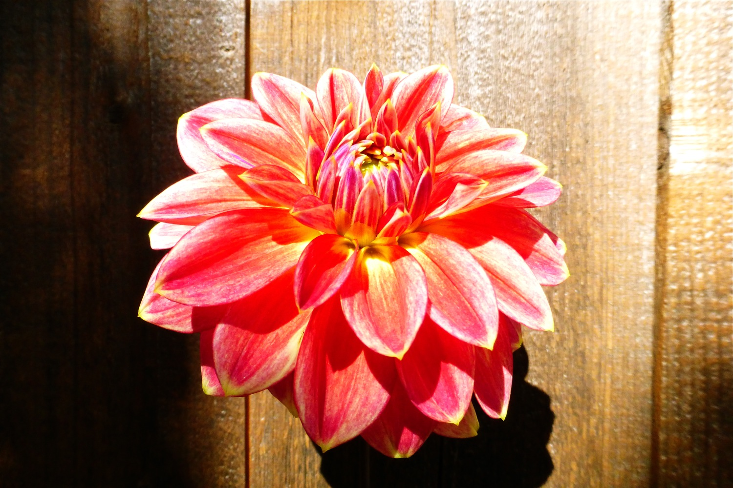 autumn garden, dahlia, autumn dahlia, red yellow dahlia, autumn sunshine