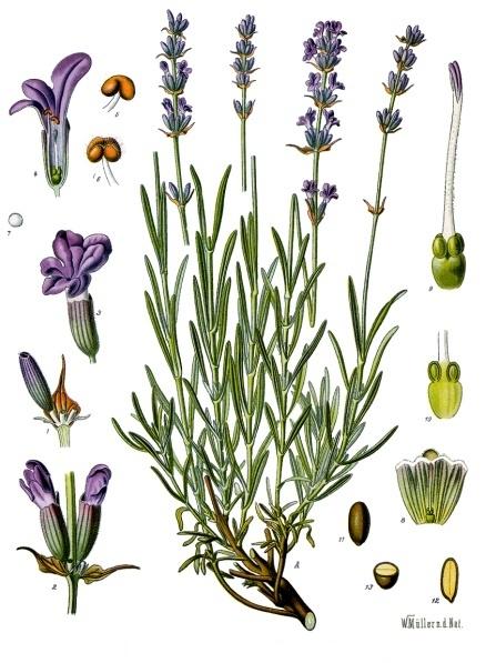 Shadows magick place: Lavender , the purple sorceress