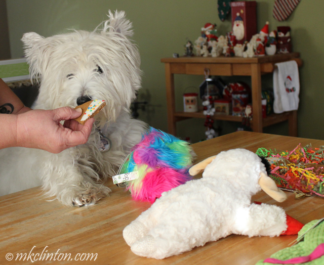 Westie waiting for cookie