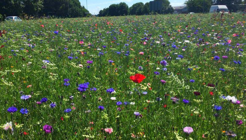 Em Kingston upon Hull, os separadores centrais e as bermas de muitas estradas estão cobertos de flores silvestres.