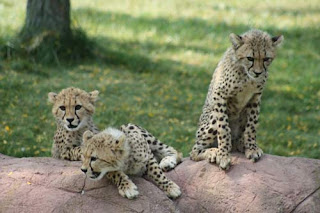 Three Little Cheetahs.