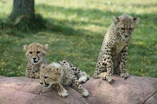Three Little Cheetahs.