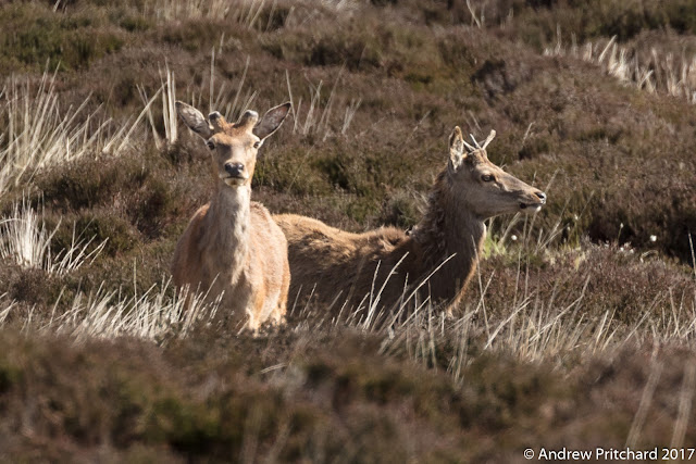 Two you male red deer stand in moorland heather, one has blunt pedicles, teh other has small single spikes for antlers.