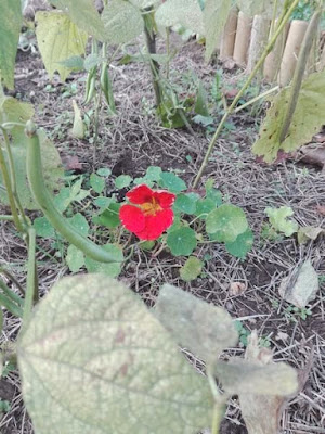 Coltivare fiori nell'orto: il nasturzio.