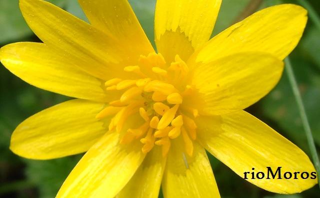 Ficaria verna en flor Celidonia menor, ficaria