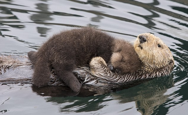 Mother otter keeps her newborn pup dry as the pair swim together