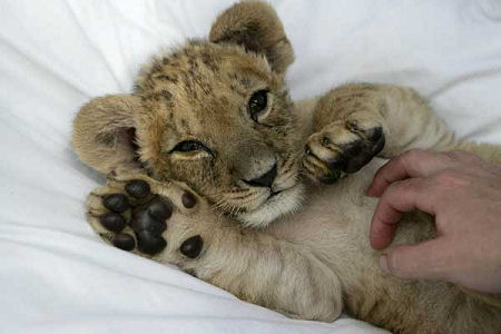 Funny wallpapers HD wallpapers: lion cubs cute