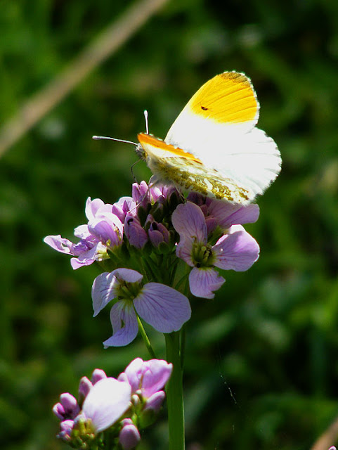 Orange-tip butterfly Anthocharis cardamines. Indre et Loire. France. Photo by Loire Valley Time Travel.
