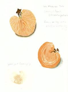 Wrinkled peach study (Rhodotus palmatus)