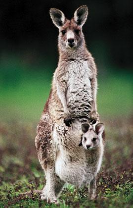 Mengapa kangguru mempunyai kantong  Coretanku