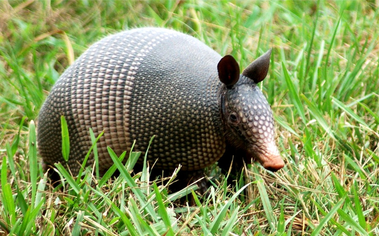 Wildlife Of The World: Armadillos Animals Facts-Photos